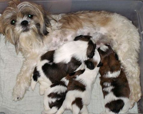 Shih Tzu Colors And Information