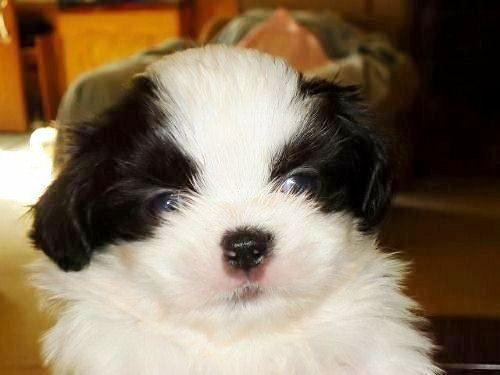 Shih Tzu Puppies For Sale Wilmington Nc
